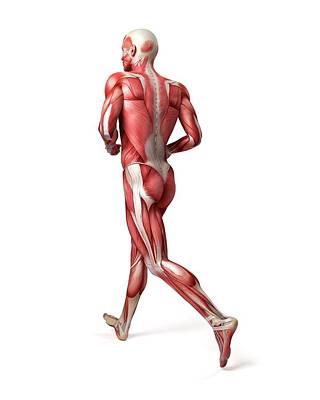 Male Muscular System Art Print by Sebastian Kaulitzki