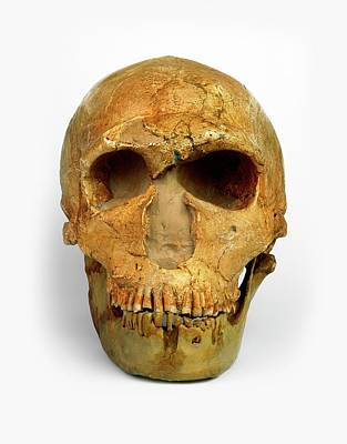 Prehistoric Era Photograph - Male Neanderthal Skull by Dorling Kindersley/uig