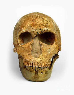 Photograph - Male Neanderthal Skull by Harry Taylor / Dorling Kindersley / Natural History Museum, London