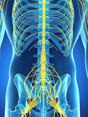 Biomedical Illustration Photograph - Male Nervous System by Sebastian Kaulitzki