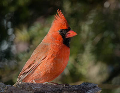 Photograph - Male Northern Cardinal 3 by Kenneth Cole