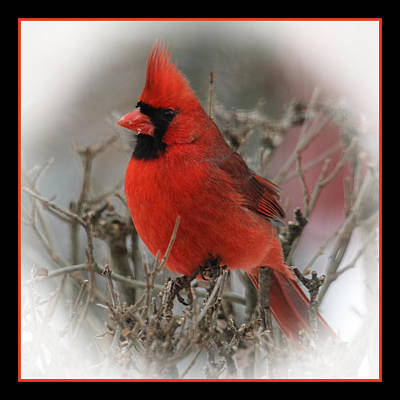 Photograph - Male Northern Cardinal by John Kunze