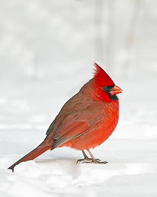 Photograph - Male Northern Cardinal by John Vose