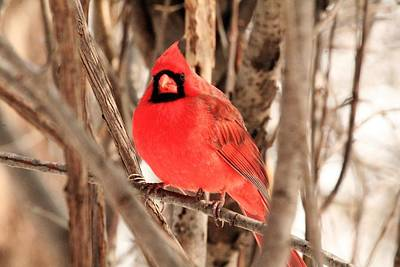 Male Northern Cardinal Print by Michael Allen