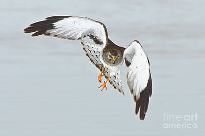 Photograph - Male Northern Harrier by Bill Singleton