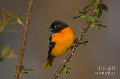 Oriole Photograph - Male Northern Oriole by Thomas and Pat Leeson
