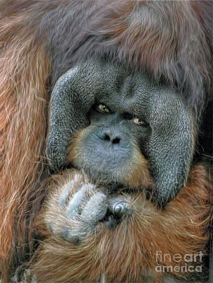 Art Print featuring the photograph Male Orangutan  by Savannah Gibbs