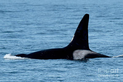 Print featuring the photograph Male Orca Killer Whale In Monterey Bay 2013 by California Views Mr Pat Hathaway Archives