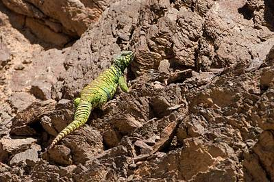 Agama Photograph - Male Ornate Mastigure (uromastyx Ornata) by Photostock-israel