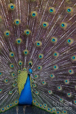 Black And White Horse Photography - Male Peacock   #9053 by J L Woody Wooden