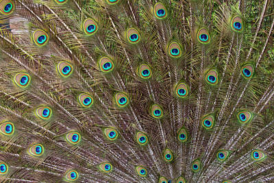 Spotted Tail Photograph - Male Peacock With Fanned Out Tail by Darrell Gulin