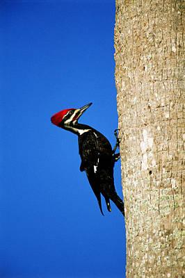 Woodpecker Photograph - Male Pileated Woodpecker by Paul J. Fusco