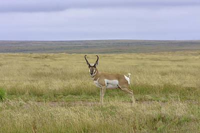 Photograph - Male Pronghorn - Artistic by Karen Stephenson