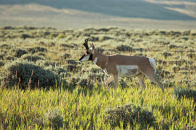Male Pronghorn Art Print by Jim West
