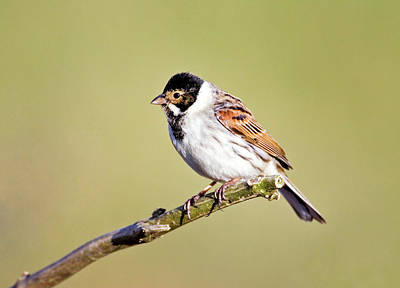 Male Reed Bunting Art Print