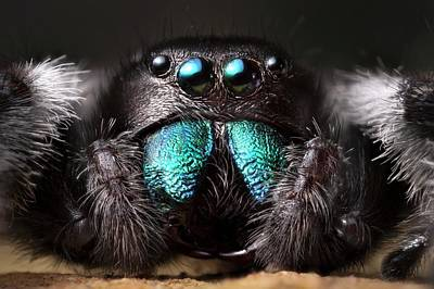 Male Regal Jumping Spider Art Print by Alex Hyde