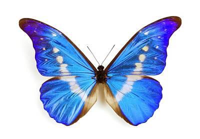 Morpho Wall Art - Photograph - Male Rhetenor Blue Morpho Butterfly by Pascal Goetgheluck/science Photo Library
