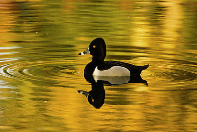Male Ring-necked Duck, Swimming, Dawson Art Print