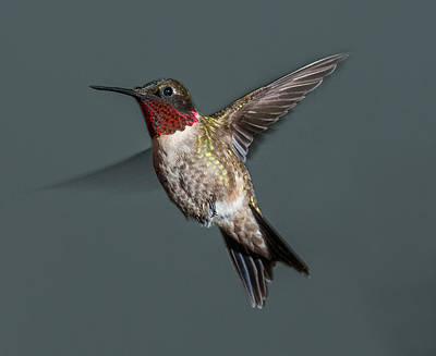 Photograph - Male Ruby-throated Hummingbird 1 by Lara Ellis