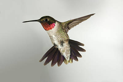 Photograph - Male Ruby-throated Hummingbird by Gregory Scott