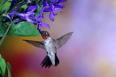 Salvia Photograph - Male Ruby-throated Hummingbird by Panoramic Images