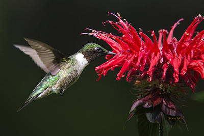 Male Ruby-throated Hummingbird With Red Flower Art Print