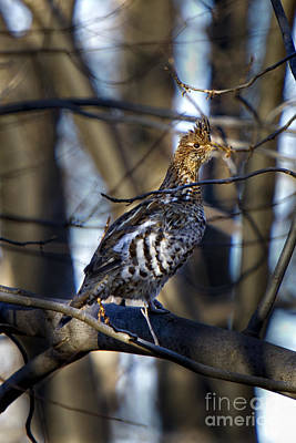 Photograph - Male Ruffed Grouse by Ronald Lutz