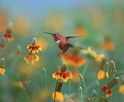 Rufous Hummingbird Photograph - Male Rufous Hummingbird (selasphorus by Tim Fitzharris