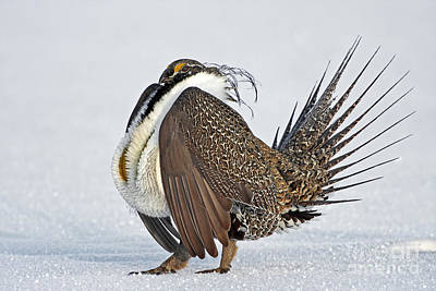 Photograph - Male Sage Grouse by Bill Singleton