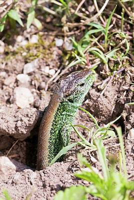 Breeding Season Photograph - Male Sand Lizard by Bob Gibbons