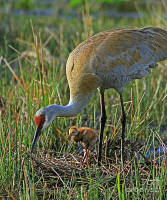 Male Sandhill With 4 Day Old Chick Art Print by Larry Nieland
