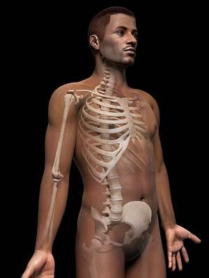 Biomedical Illustration Photograph - Male Skeletal System by Sebastian Kaulitzki
