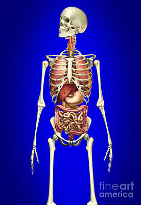 Floating Ribs Digital Art - Male Skeleton With Internal Organs by Leonello Calvetti