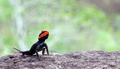 Agama Photograph - Male South Indian Rock Agama by K Jayaram