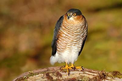 Photograph - Male Sparrowhawk by Gavin Macrae