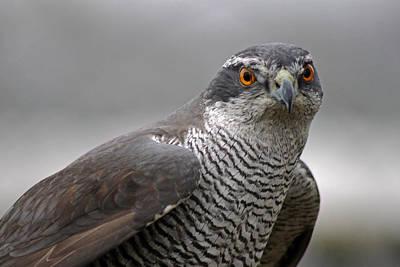 Photograph - Male Sparrowhawk. by Tony Murtagh