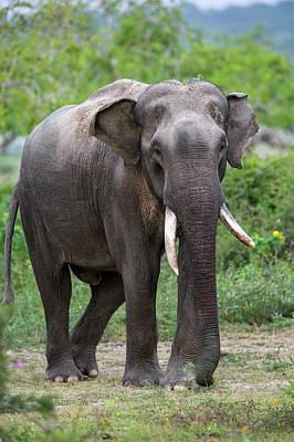 Male Sri Lankan Elephant Art Print by Peter J. Raymond