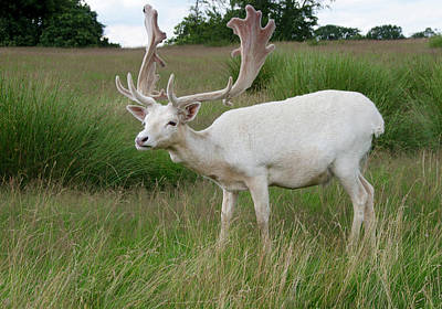 Male White Fallow Deer Print by Nigel Downer