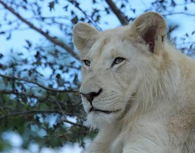 Photograph - Male White Lion by Davandra Cribbie