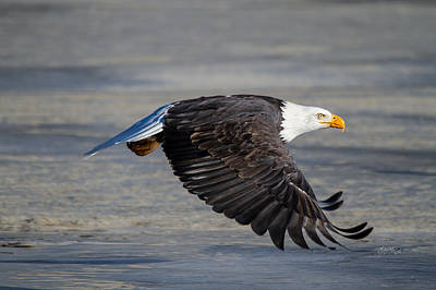 Photograph - Male Wild Bald Eagle Ready To Land by Eti Reid