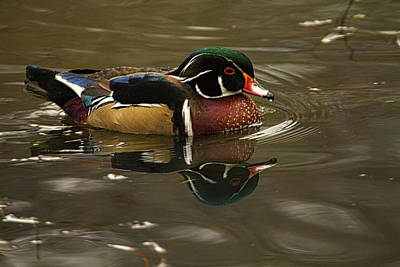 Wood Duck Profile Photograph - Male Wood Duck by Constantine Gregory