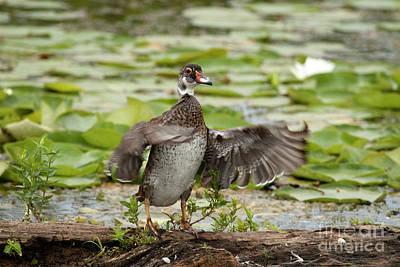 Photograph - Male Wood Duck by Jeannette Hunt
