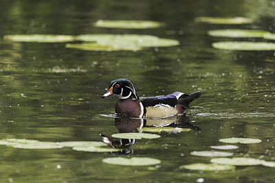 Photograph - Male Wood Duck by Josef Pittner
