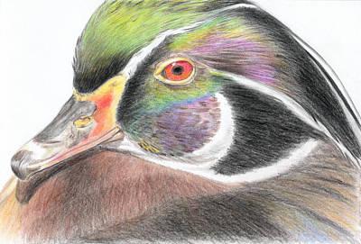 Wood Duck Drawing - Male Wood Duck by Yan Tomazin