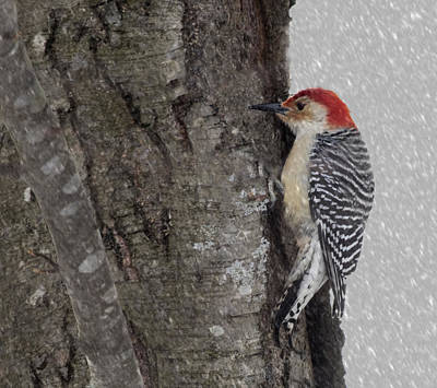Male Woodpecker Feeding  Art Print