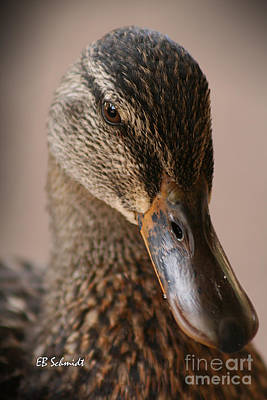 Photograph - Mallard 01 by E B Schmidt