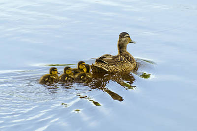 Mallard And Chicks  Art Print