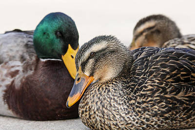 Photograph - Mallard At Rest by Jill Bell