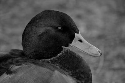 Photograph - Mallard Closeup Bw by Maria Urso