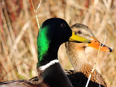 Art Print featuring the photograph Mallard Couple by Karen Horn